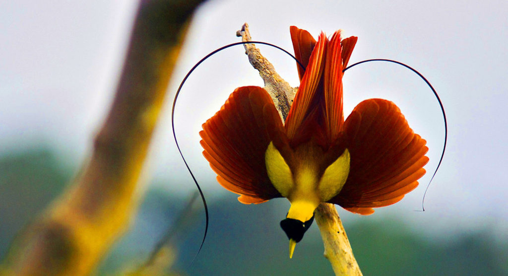 Raja Ampat Birds of Paradise