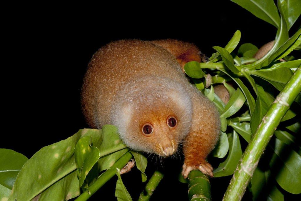 Cuscus Raja Ampat