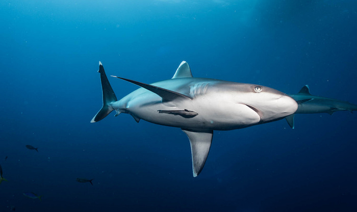 Bismarck Sea sharks