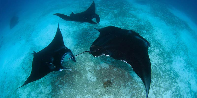 Raja-manta-snorkeling
